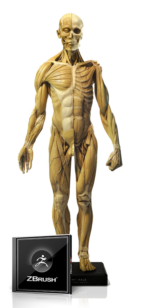 Male Anatomy Figure 1/3 Scale and ZBrush Bundle
