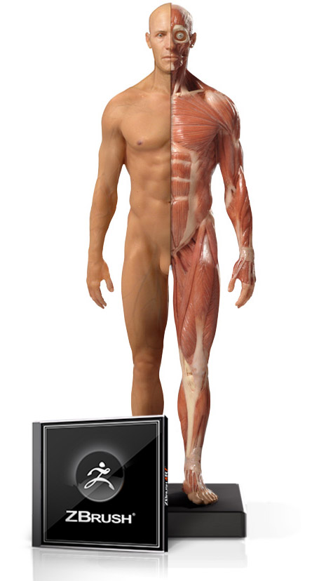 Male Flesh/Anatomy 1/6 Scale and ZBrush Bundle