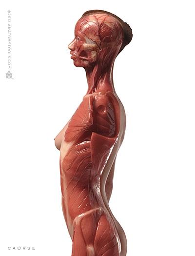 Pixologic Anatomy Tools Zbrush Bundle Female Medical Figure