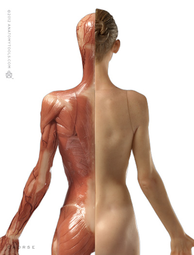 Pixologic > Anatomy Tools / ZBrush Bundle > Female Medical Figure ...