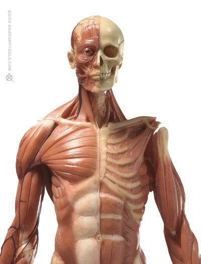 Pixologic Anatomy Tools Zbrush Bundle Male Medical Figure And