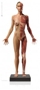 Anatomy Tools Female Medical Figure