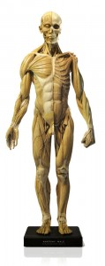 Anatomy Tools Male Anatomy Figure 1/3 Scale