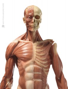 Male Medical Figure and ZBrush Bundle