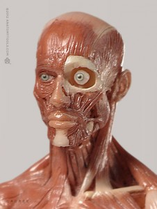 Anatomy Tools Male Anatomy Figure 1/6 Scale