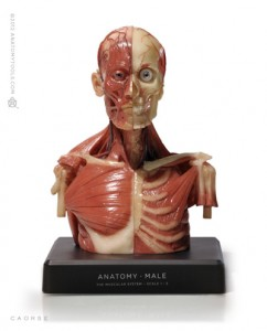 Anatomy Tools Male Medical Torso