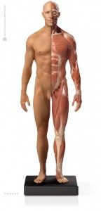 Anatomy Tools Male Flesh/Anatomy 1/6 Scale